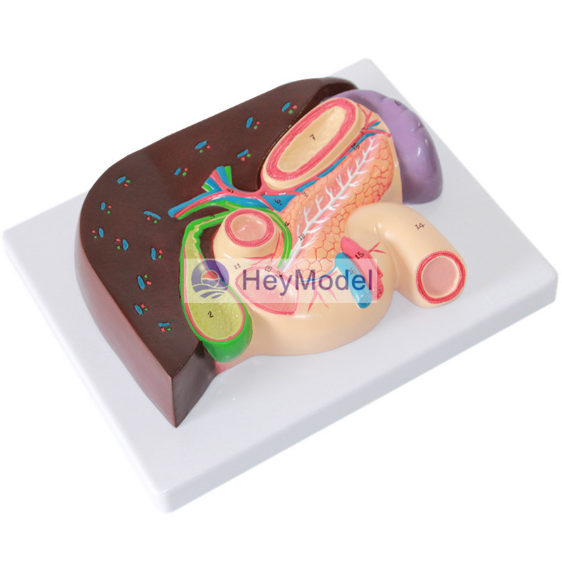 HeyModel Hepatobiliary duodenum Gastric section model gastric
