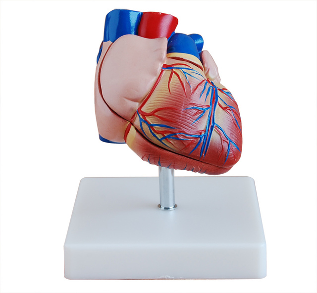 1:1 Simulation Human Heart Anatomical Model Teaching Model,Heart ...