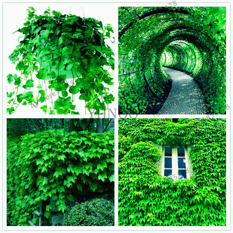 20pcs/pack Green Boston Ivy Bonsai Ivy Plantas For DIY Home & Garden Decoration Outdoor Plants Floresling Easy To Grow