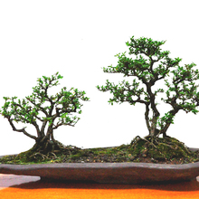 Chinese Elm Seeds 30 Pieces