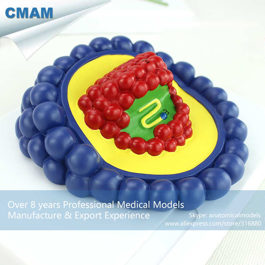 12554 CMAM VSW01 Microbiology AIDS Virus Model Kit , Medical Science ...