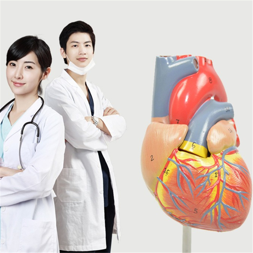 3D Human Anatomy model Human Heart Model Visceral Anatomical Model Office Decoration seiko часы seiko snn277p1 коллекция conceptual series dress