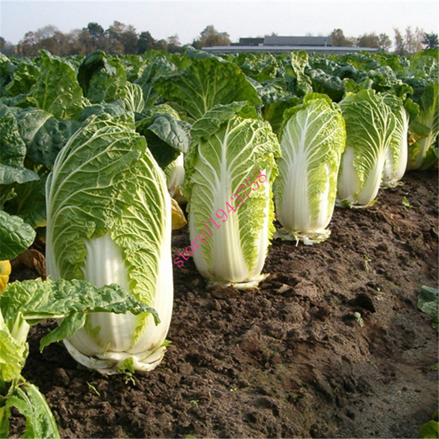500 Chinese cabbage cabbage seedsgreen vegetable seeds for