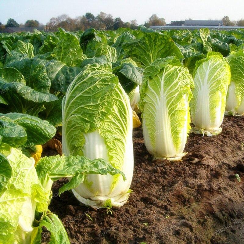 Большая капуста бонсай Золотая капуста питательные и вкусные овощи Бонсай легко вырасти Горшечное растение для домашнего сада 100 шт