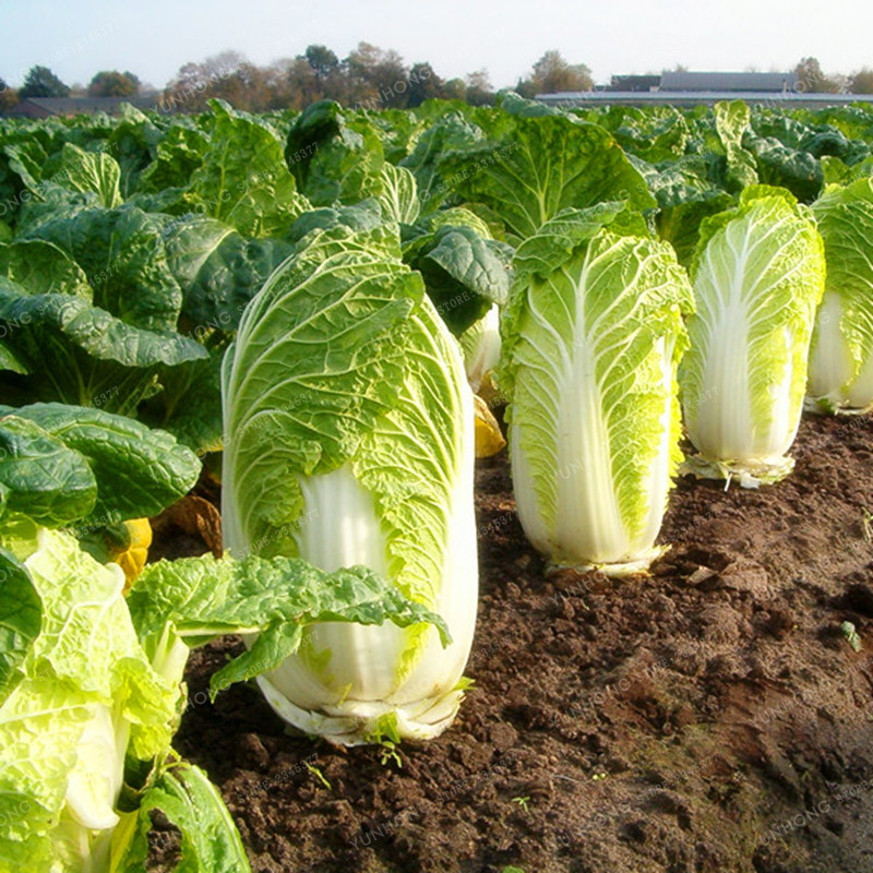 50pcs Green Cabbage Seeds Salad Cooking Organic Vegetable Easy Growing In Garden Home & Garden Yard, Garden & Outdoor Living