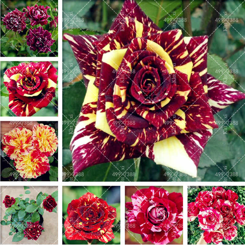 300 Pcs Red Dragon rose seedling rare rose flower Bonsai for home garden planting Potted, Balcony & Yard Flower bonsais planta