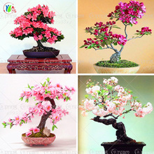 10pcs/lot  japanese sakura seeds ,bonsai flower Cherry Blossoms free shipping ornamental-plant