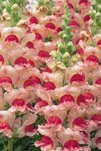 30+seeds/pack ANTIRRHINUM OPUS APPLEBLOSSOM SNAPDRAGON FLOWER SEEDS / FRAGRANT