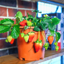 500 pcs strawberry,Potted Strawberry,Rare Organic Fruit,Heirloom Wild Strawberry for mini garden plants