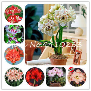 Roof-Terrace Flower Bonsai Amaryllis Lily Garden-Plant Not-Bulbs Special-Promotion Multi-Color-To-Choose
