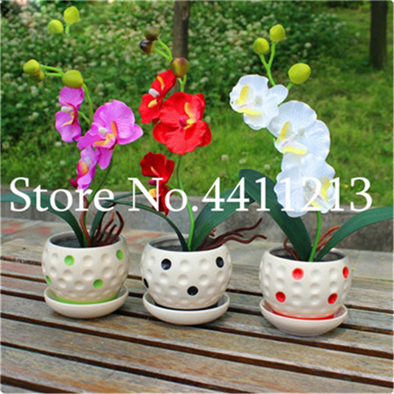 5000 Pcs Rare Mini Orchid Bonsai Phalaenopsis Orchid Indoor Miniature Garden Bonsai Flower Bonsai Orchid Pot Home Garden Plant