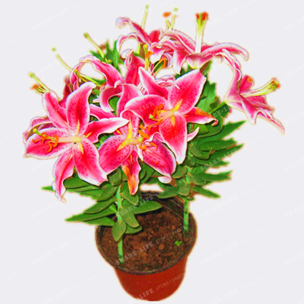 2 bulbs 100 true red lily bulbs not lily seeds flower indoor plant radiation absorption natural growth bonsai flowerin bonsai from home garden on
