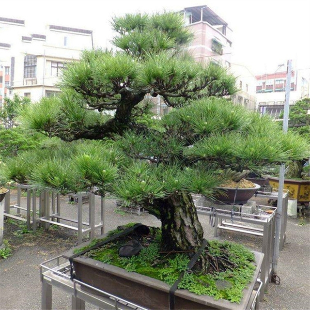 buy black pine tree seeds 50pcs plant pinus thunbergii tree chinese hei song in bonsai from home. Black Bedroom Furniture Sets. Home Design Ideas