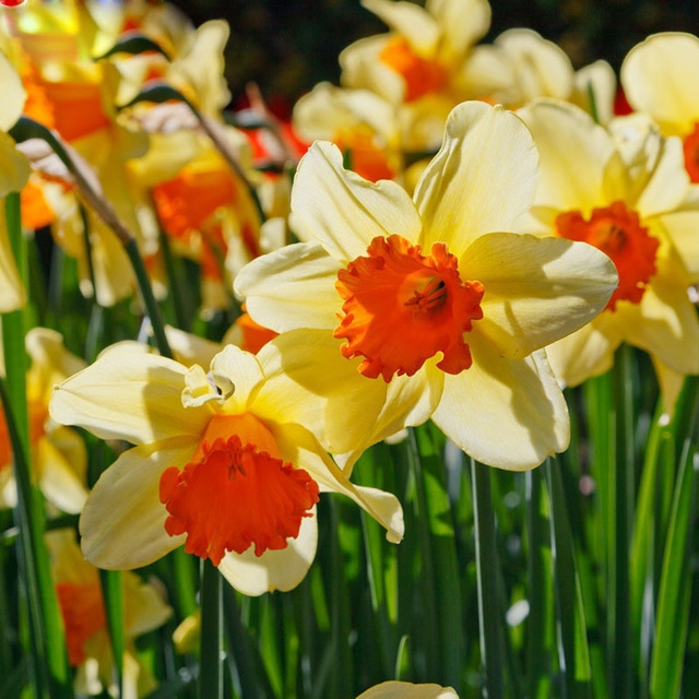 Multi-Color Daffodil Flower Seeds, 100pcs/pack