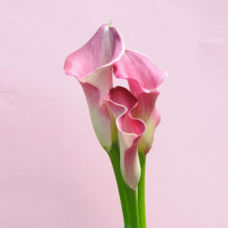 Hot Sale Pink Calla lily Seeds Balcony Potted Bonsai Patio Plant Seeds Aethiopica Flower Seeds 120PCS