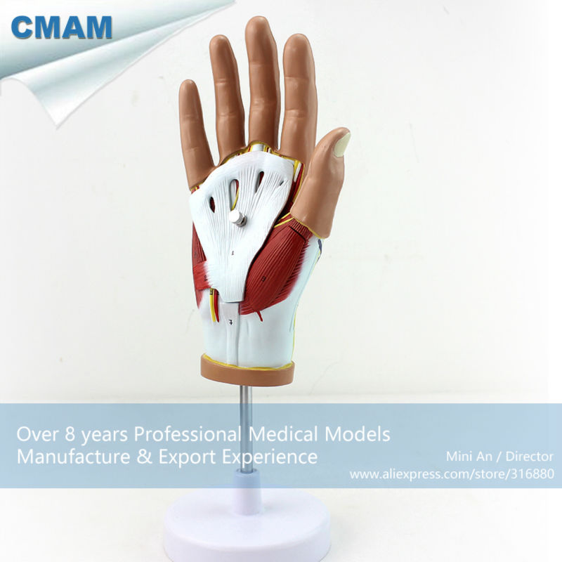 12031 CMAM-MUSCLE08  Human Hand Anatomy Muscle 4-Parts Medical Education Model human anatomy model simulation man model medical model male torso model 15 parts 28cm gasencx 0017