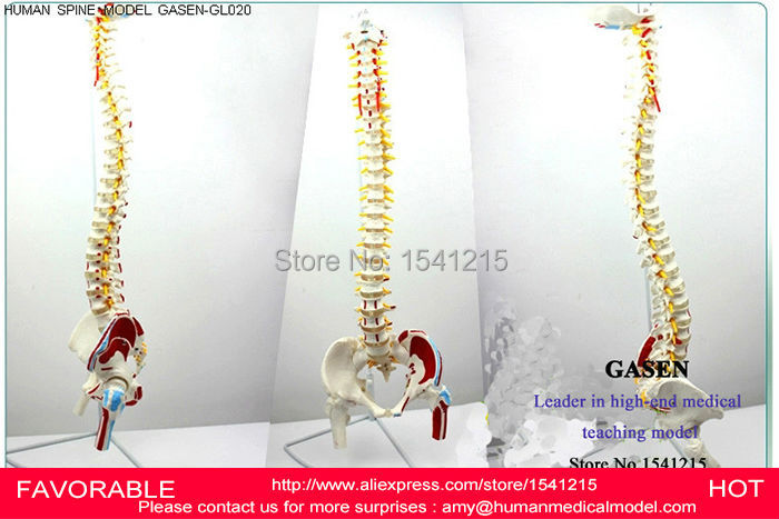 HUMAN BODY SPINE MODEL VERTEBRAL PELVIS FEMUR VERTEBRAL ARTERY INTERVERTEBRAL DISC SPINAL NERVE HUMAN SPINE MODEL -GASEN-GL020 vertebral column model with pelvis femur heads and sacrum 45cm spine model with intervertebral disc