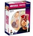4D MASTE беременности человека собран медицинский использовать обучающие головоломки игрушки вырезом модель человека