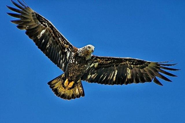Adler Flügel Blauen Himmel Vogel Beine Fly Tier Poster Stoff Silk ...