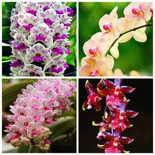 High Quality 100 pcs Cymbidium orchid,Cymbidium flower plant,bonsai flower,25 colours to choose, plant for home garden easy grow(China)