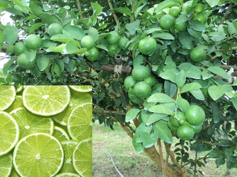 Fruit seed family garden potted bonsai thailand organic - What is lime used for in gardening ...