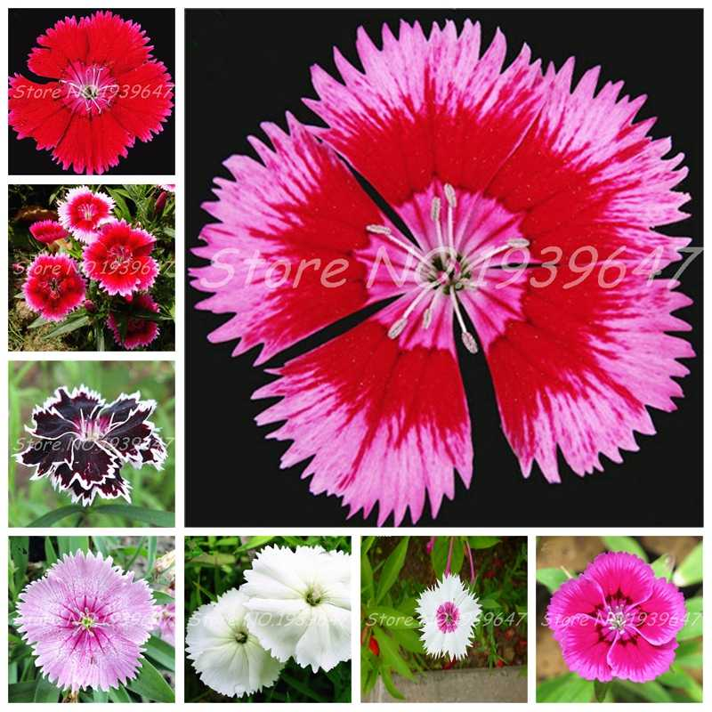 Colorful Dianthus Caryophyllus Flower Bonsai New Carnation Bonsai Balcony Potted Courtyard Garden Plant High Germination 100 Pcs