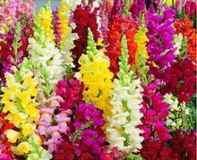 Flower seeds Potted plant Common snapdragon flower seeds colorful flowers Garden Home Bonsai Planting Free shipping 30pcs w22
