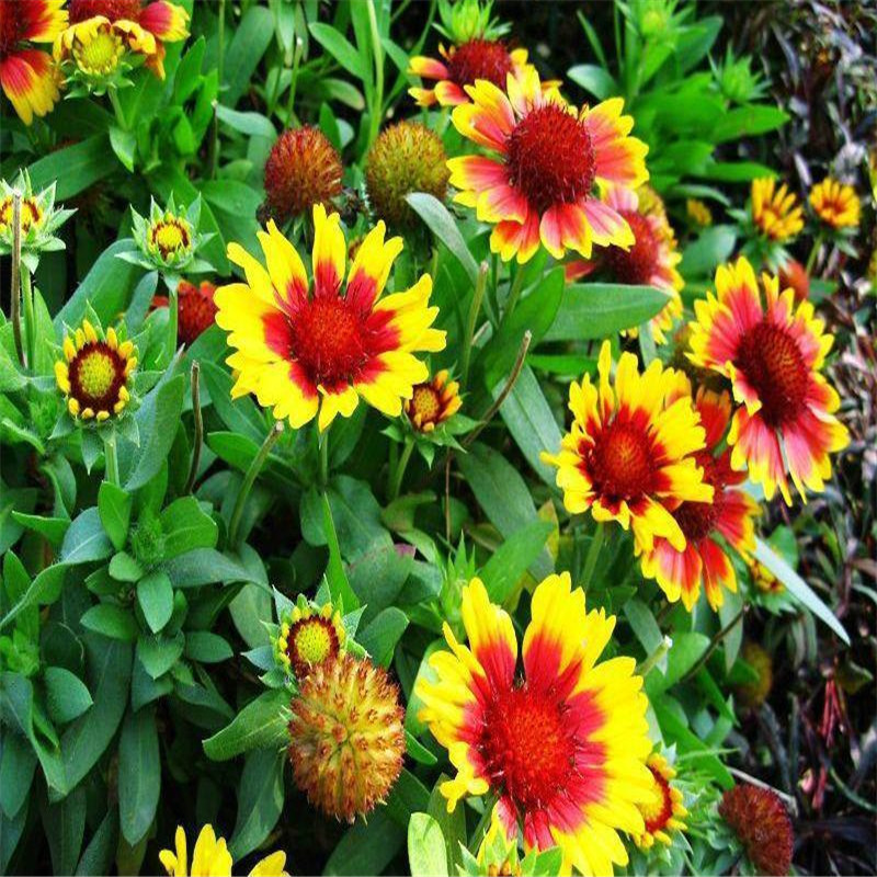 Seeds blanket flowers gaillardia aristata mix perennial blanket blanket flower perennial plant growth up to 60 75 cm prefers a sunny position drought and frost resistant young plants bloom the second year mightylinksfo