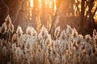 Reed Gras Sunset Golden Stunde Zier fotografie hintergründe Computer print kinder kinder hintergrund|Hintergrund|   -
