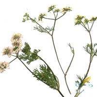 10 Pcs Dried Flower Of Cilantro With Branch Creative Handmade DIY Natural Plant Material Bookmark Greeting