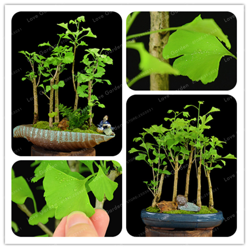 5Pcs Ginkgo Biloba Bonsai Unique Species Of Maidenhair Tree Bonsai Sprouting 100% Fruit Tree Potted Plants Strong Adaptability