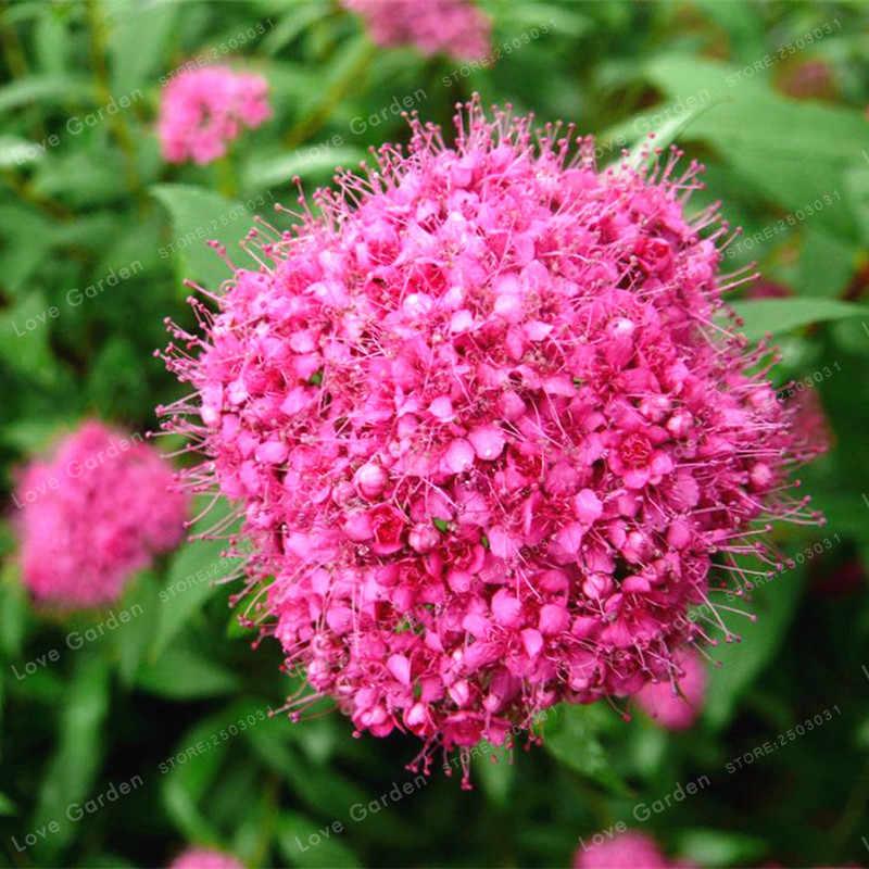 100 Adet Spiraea Kar Topu Çiçek Bonsai Ev DIY Bahçe Dikim Spiraea Bonsai Meadowsweet Çiçek Bonsai Uzun Ömürlü Açık
