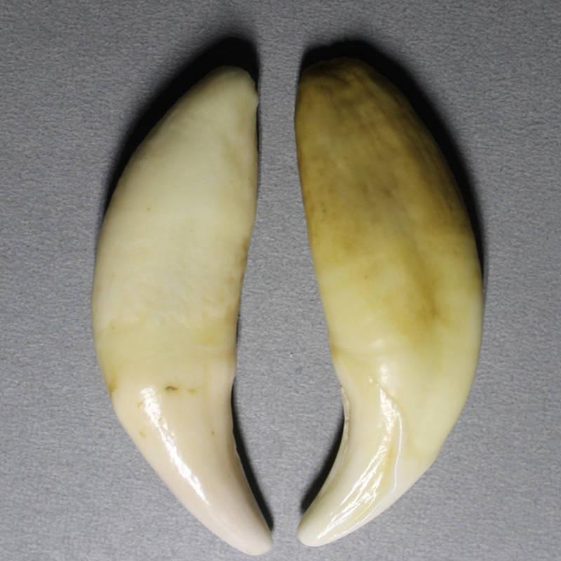 TBP5854 Tibet Wolf Teeth Amulet for Man Tibetan Mastiff Fangs 54-55mm Original Color Big size fangs for nothing