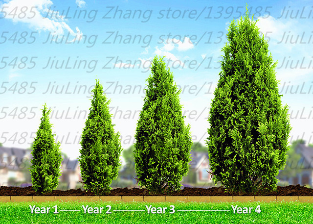 30pcs/bag Cypress Trees Platycladus Orientalis Oriental Arborvitae Seeds  Conifer Seeds Plant Tree Seed Home Pictures