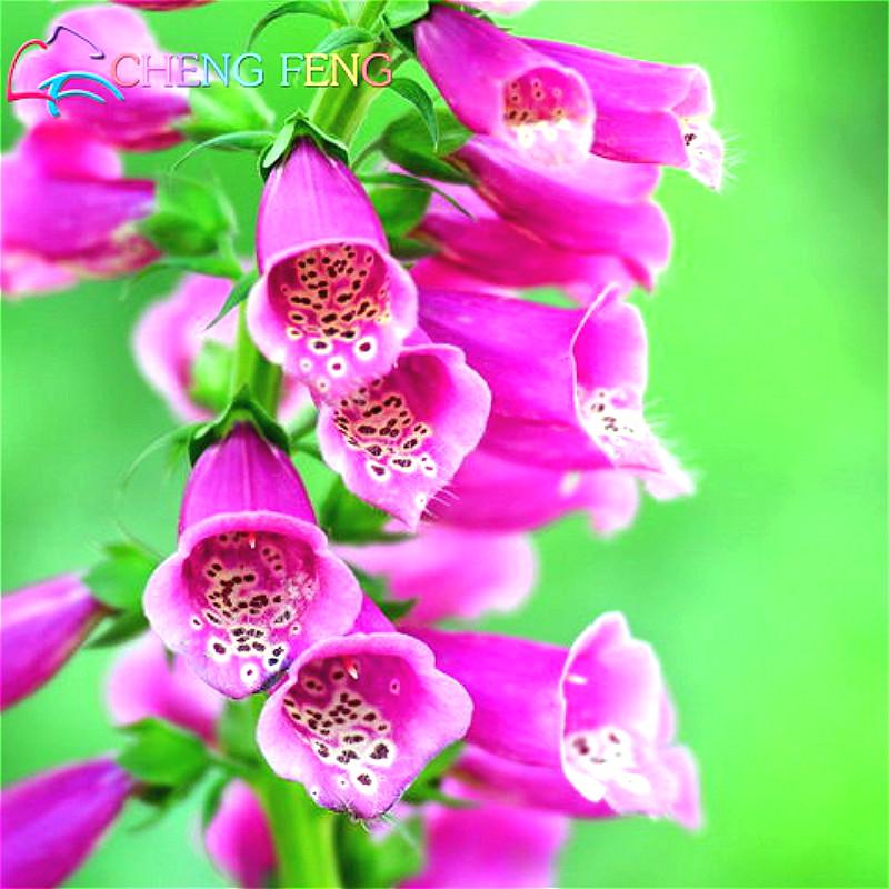 unids foxglove semillas de flores flores exterior ms hermoso que flor de la cala bombillas