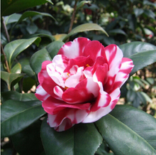 Potted Tree Bonsai Camellia Japonica Seeds 50pcs