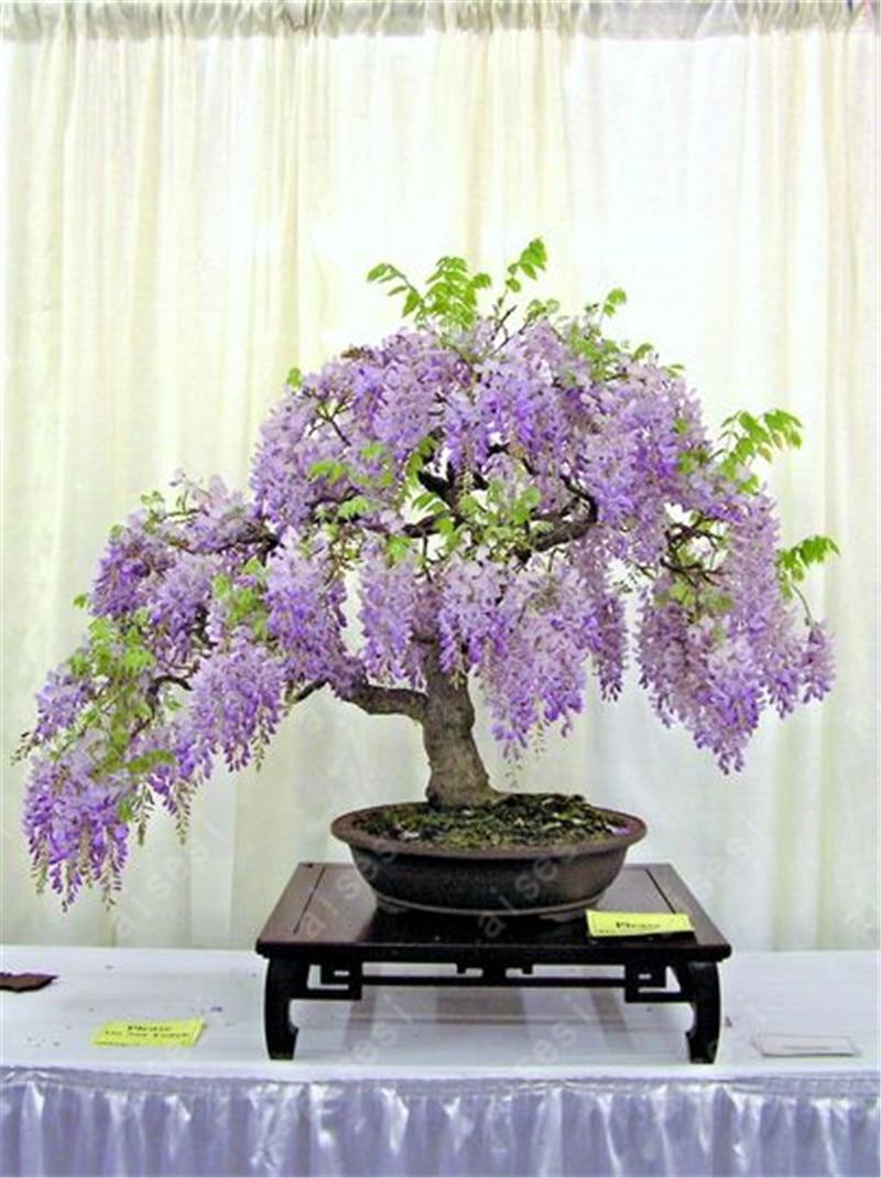 Bonsai 100 French Provence Lavender Biji Sangat Ramuan Harum 10 Benih Bunga Bungkus Partikel Wisteria Pohon Mini Dalam Tanaman Hias Bungaas 089