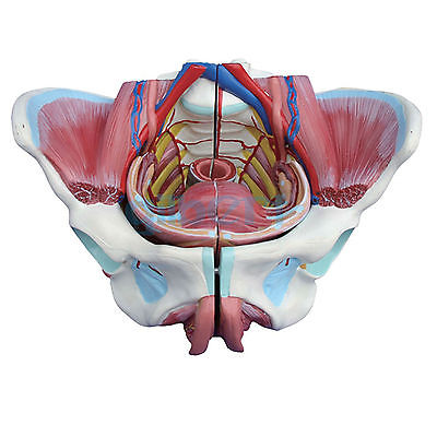 Female Pelvis With Genital Organs Muscle Rehabilitation Anatomical Model 4 Part male genital organs male genitalia anatomical model structure male reproductive organs decomposition model