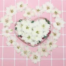250pcs Pressed Dried White Consolida Ajacis Flower Plants Herbarium For Resin Jewelry Making Postcard Frame Phone Case Craft DIY