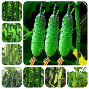 Planting Cucumber Bonsai Vegetables Delicious Fruits Rare Gardening Best-Selling Home