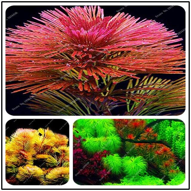 Nueva llegada 1000 planta De acuario pino De Plantas Raras tanque De peces planta acuática venta Ornamental interior planta Bonsai DIY A casa