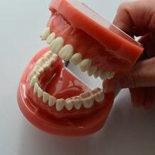 1pc Standard dental education teeth models dental study models 28pcs teeth hard gum wax fix