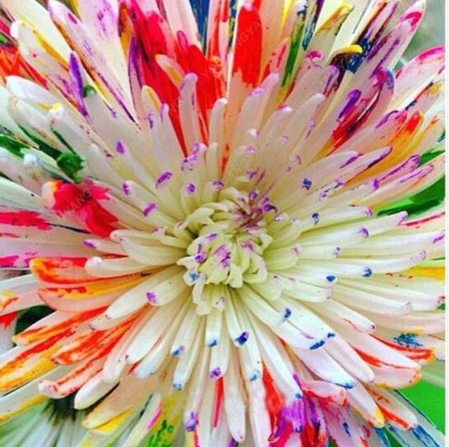 100PCS Rare Watercolor Chrysanthemum plants Lovely rainbow watercolor Chrysanthemum Natural DIY Garden Flower