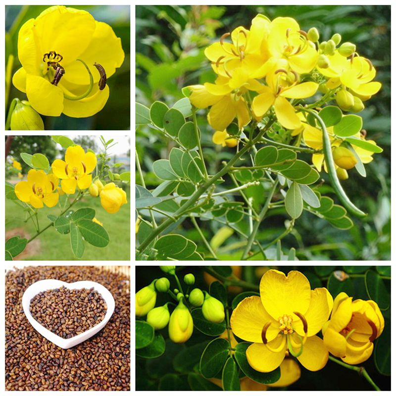20-pcs-chinese-herbal-cassiae-bonsai-high-medicinal-value-for-home-garden-bonsai-catsia-tora-linn-bonsai-flower-home-garden-diy