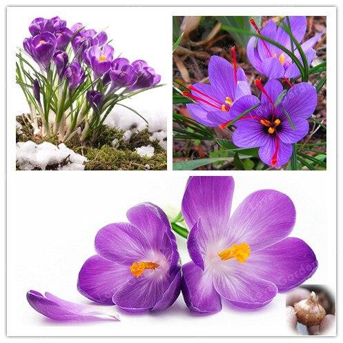 2 Bulbs True Crocus Saffron Bulbs,Iran Saffron, Bonsai Flower Bulbs Potted Plantt For Home Garden