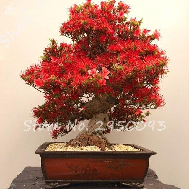 Indoor Plant 120 PCS / Lot Exotic Azalea Seeds Red Flower Seeds ...