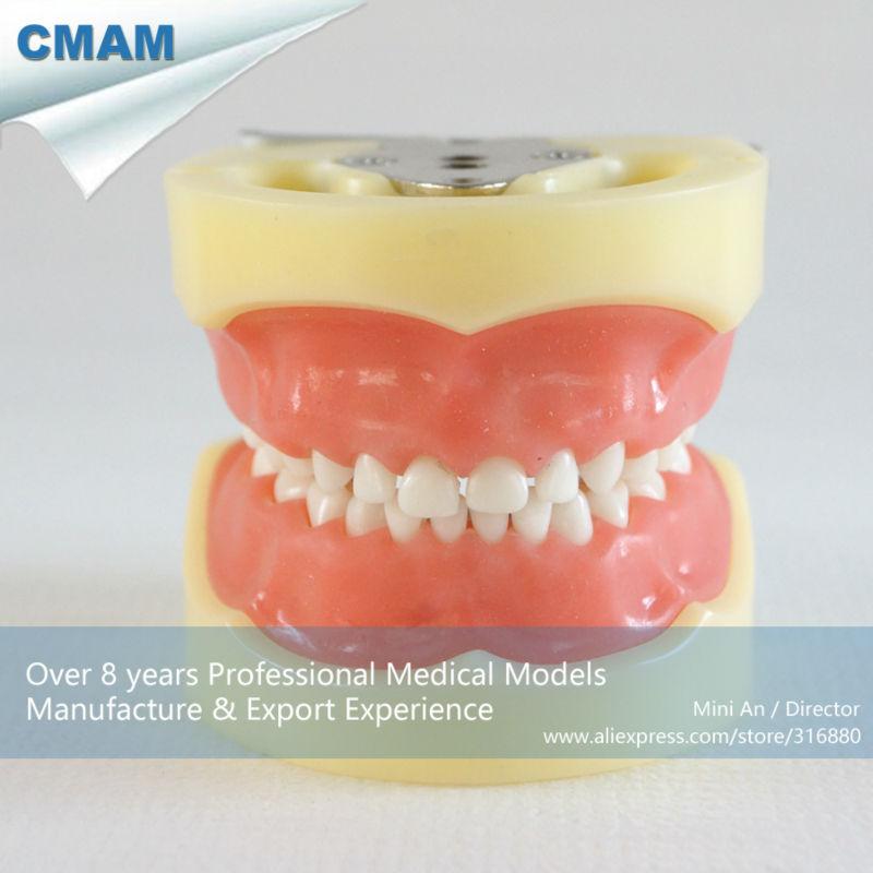 CMAM-DH103 Hard Jaw 24 Teeth Child Dental Educational Model for School Teaching in Biological cmam dental16 child dental education 3 6 age graghically developing model