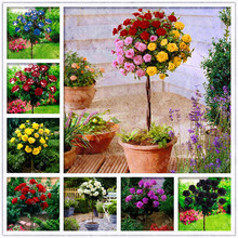100Pcs Bonsai Multi-Color Rose Tree Blooming Outdoor Potted Flore Vary Colors Selection Garden Climbing Plants