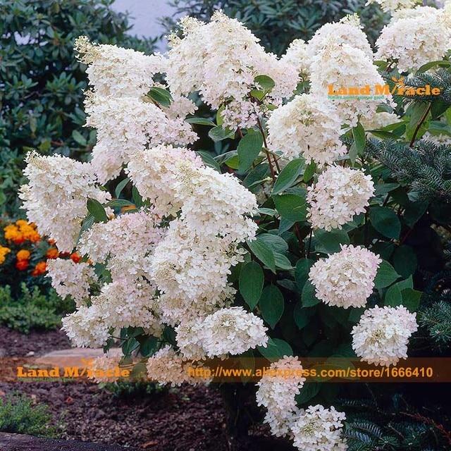 vanilla strawberry hydrangea seeds 50 seedspack perennial white hydrangea flower seeds easy - Vanilla Strawberry Hydrangea