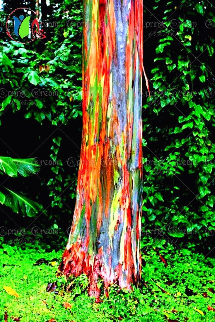 online kaufen gro handel regenbogen eukalyptus samen aus. Black Bedroom Furniture Sets. Home Design Ideas